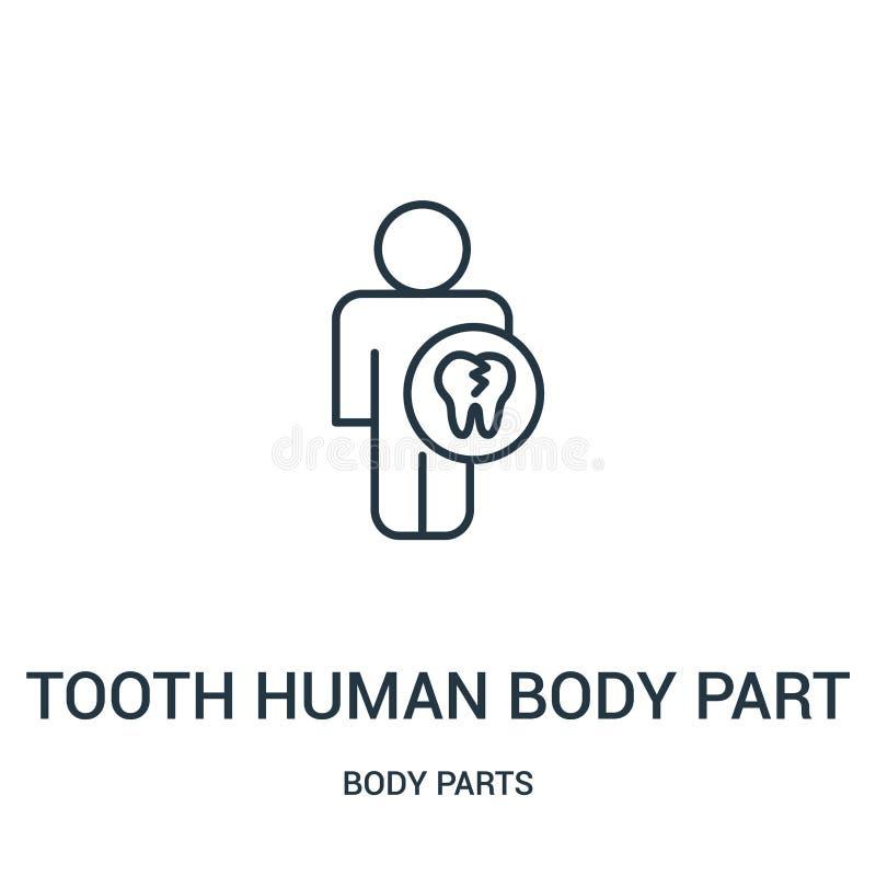 Körperteil-Ikonenvektor des Zahnes menschlicher von der Körperteilsammlung Dünne Linie Körperteilentwurfsikonen-Vektorillustratio lizenzfreie abbildung