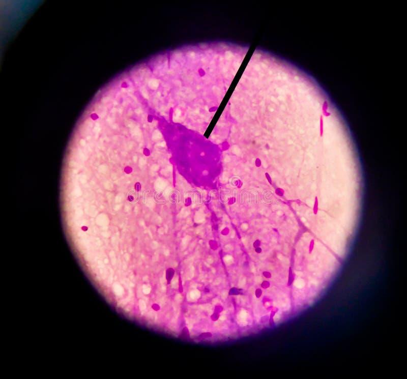Körperzellen menschlich stockfotografie