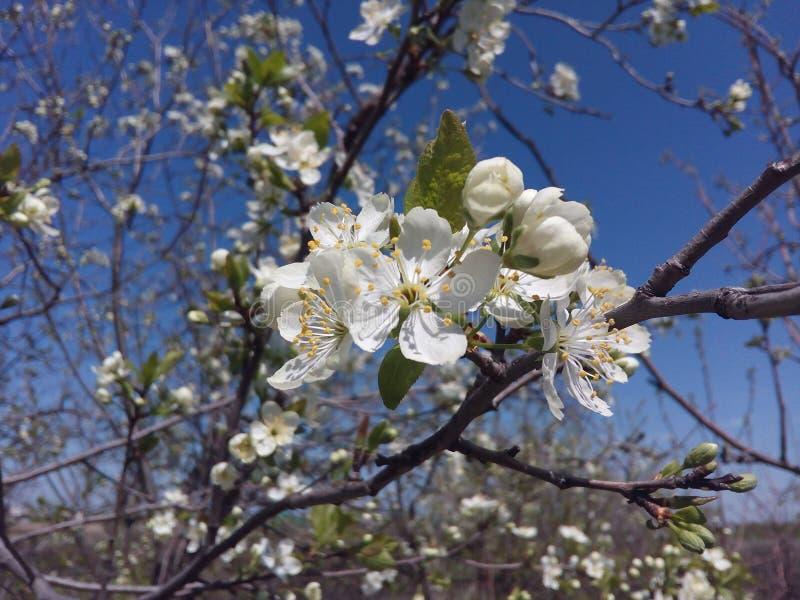 Körsbär blomning, vår, blommor, natur, vit, blomma, träd, bakgrund, blomning, dag, gräsplan, blomningar, färg, blad, fre royaltyfri bild