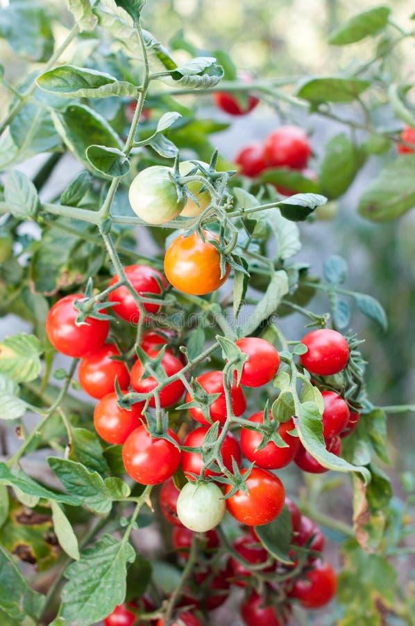 Körsbär för tomatväxt royaltyfria foton