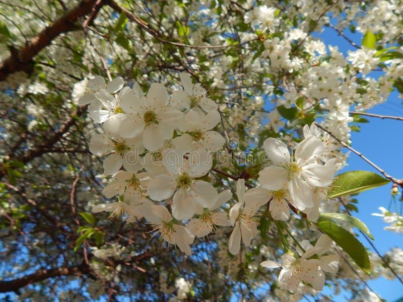 Körsbär i blomma royaltyfri fotografi