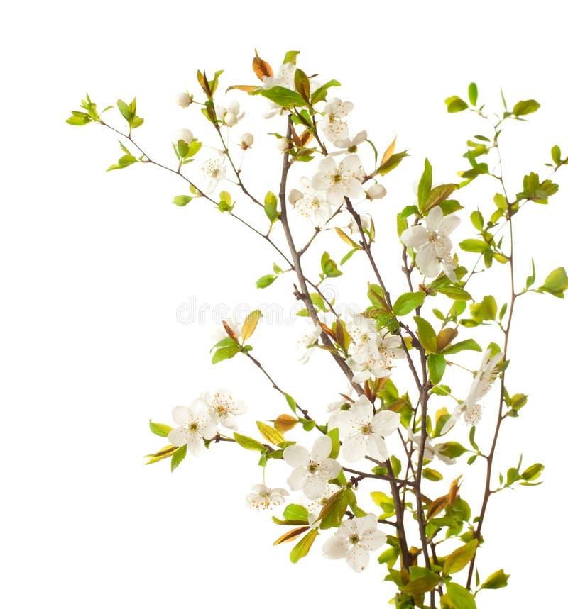 Körsbär i blomning I arkivbild