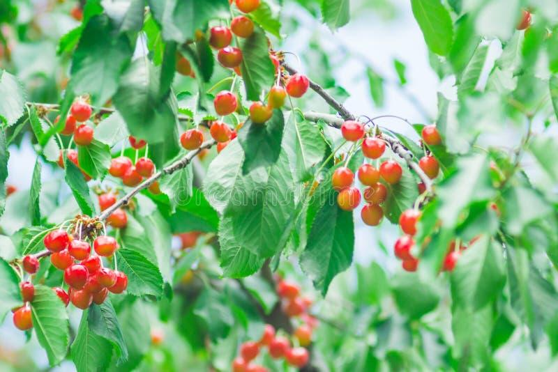 Körsbär i trädgården royaltyfri foto