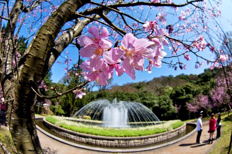 Körsbär och springbrunnar i Taiwan royaltyfria bilder