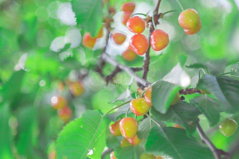 Körsbär på en trädfilial fotografering för bildbyråer