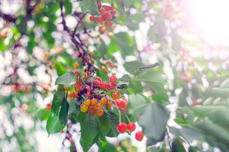 Körsbär på en trädfilial arkivfoto