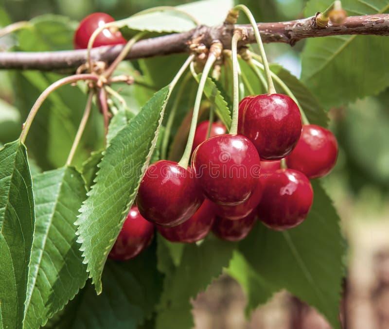 Körsbär på ett träd i trädgården royaltyfri foto