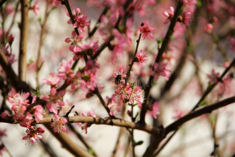 Körsbär på våren och bin som fungerar bra arkivfoto