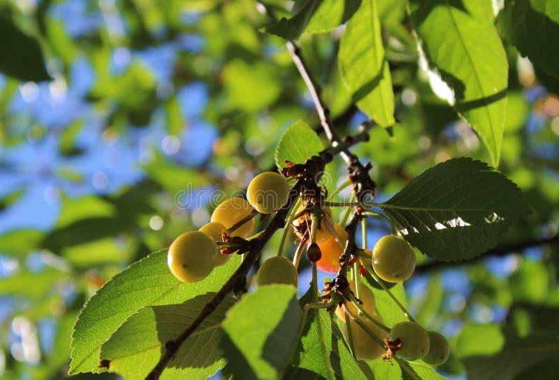 Körsbär som börjar till att mogna i försommar fotografering för bildbyråer