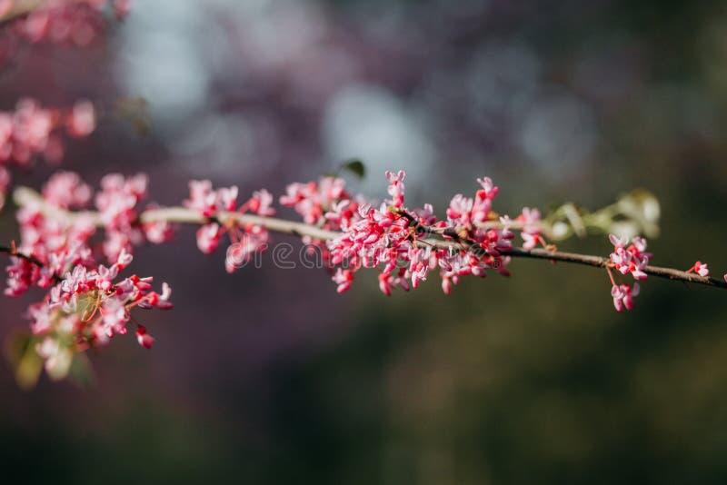 Körsbär som blomningen i vår arkivfoto