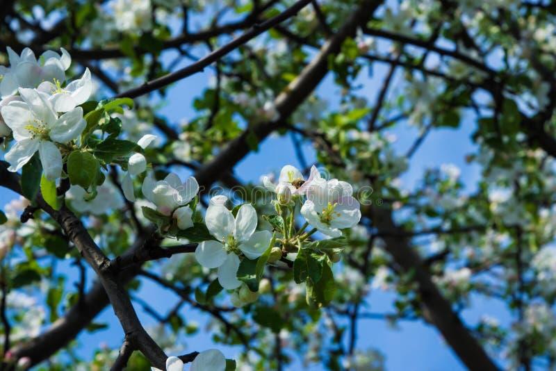 Körsbärblomning på våren Vita blommor är körsbär arkivfoton