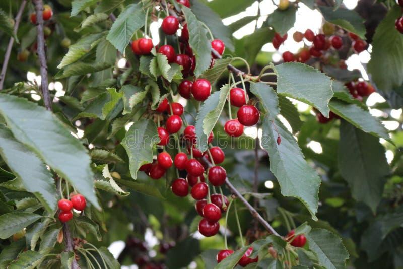 Körsbären är mogna på trädet royaltyfri bild