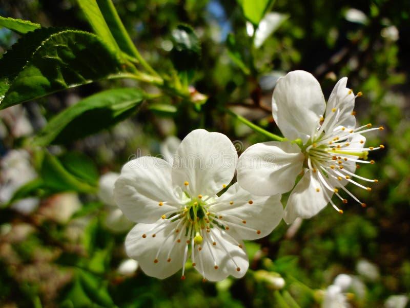 Körsbäret blommar i ljust solljus royaltyfri bild