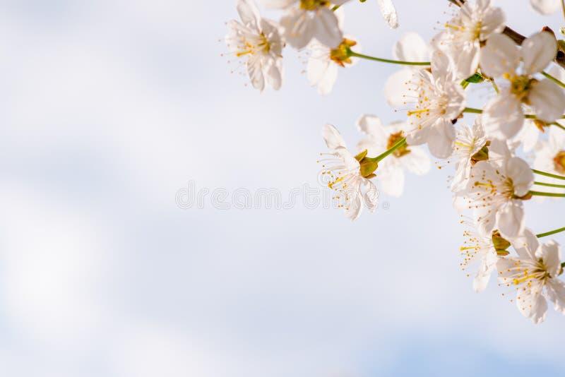 Körsbäret blommar rätt arkivfoto