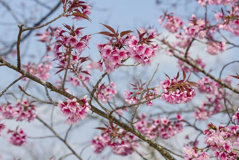 Körsbäret blomstrar eller oavkortad blom för den sakura blomman arkivbilder