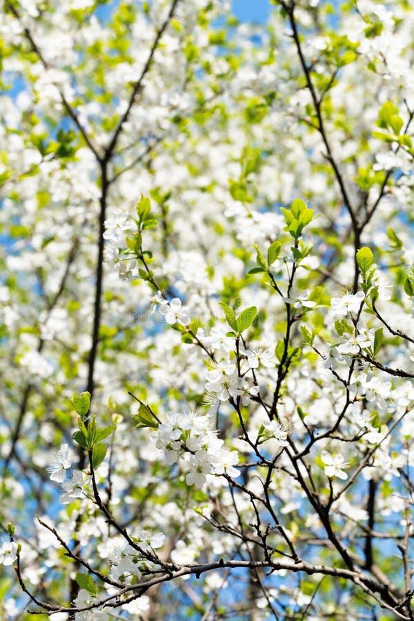 Körsbäret fattar och den vita blommande kronan för det körsbärsröda trädet arkivfoto