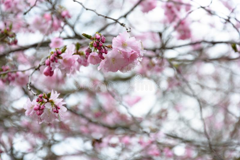 Körsbärsblomma i en park gothenburg sweden royaltyfri bild