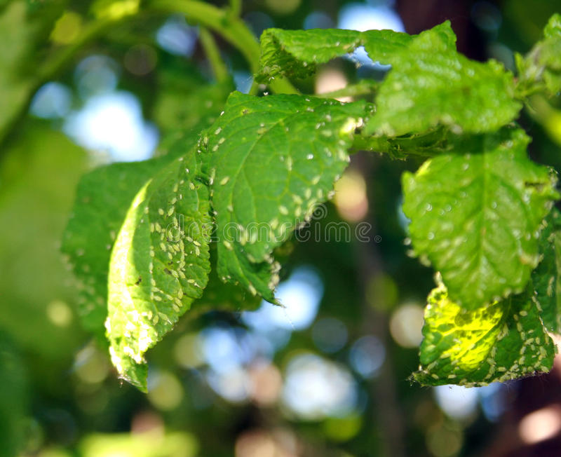 Körsbärsidor som påverkas av bladlöss Krypplågor på växten royaltyfri bild