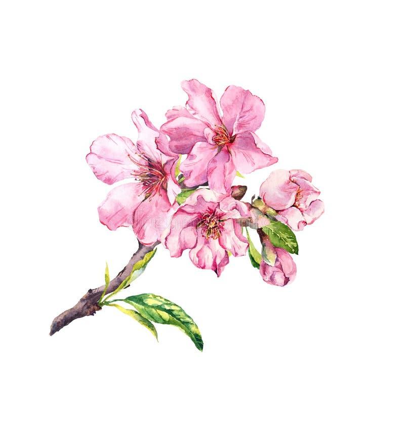 Körsbärsröd blomma filial Körsbär sakura, mandelblommor, äppleblomning Den blom- våren fattar, vattenfärg stock illustrationer