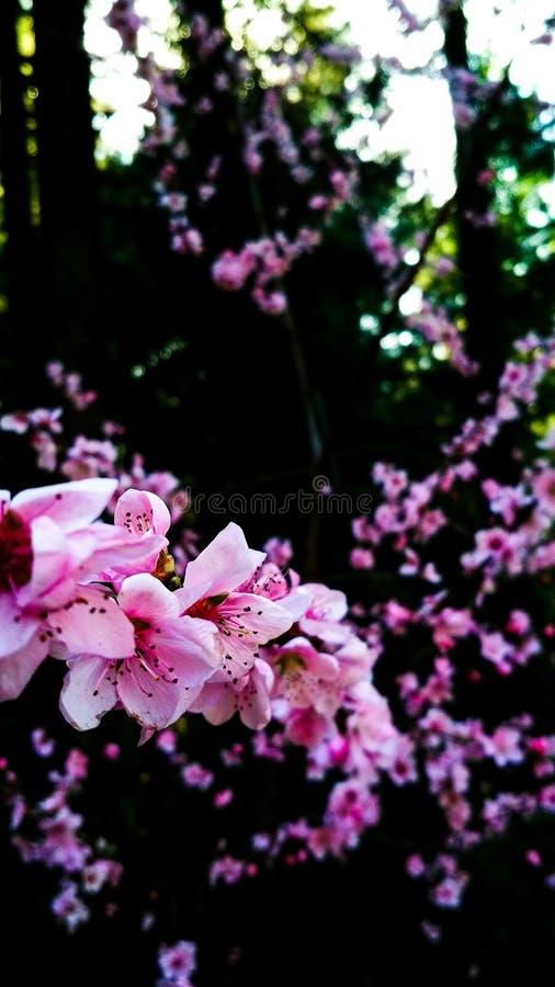 Körsbärsröd blomma i vår royaltyfri fotografi