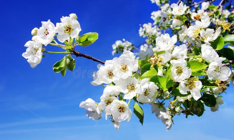 Körsbärsröd blomma på blå himmel royaltyfri fotografi