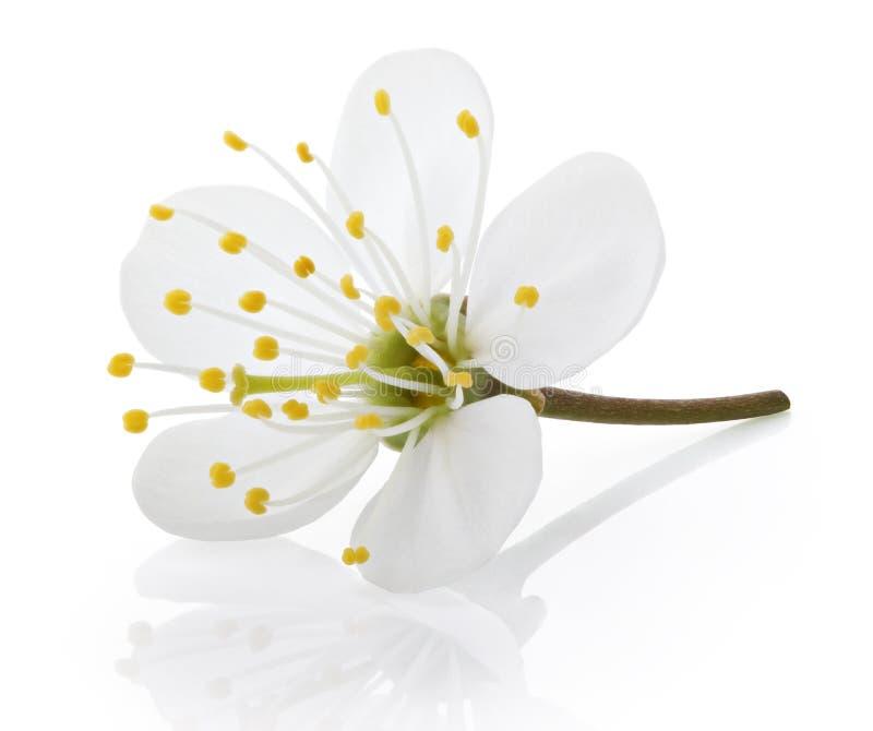 Körsbärsröd blomma på vit royaltyfri foto