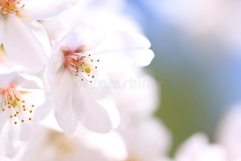 Körsbärsröd blomning royaltyfria bilder