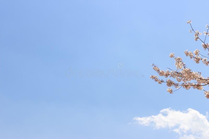 Körsbärsröd blomning eller sakura blomma i vårtid med härlig bakgrund för blå himmel arkivfoto