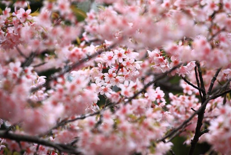 Körsbärsröd blomning för full blom royaltyfria foton