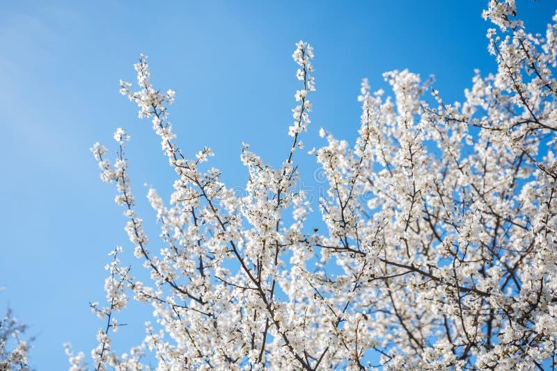Körsbärsröd blomning för vår mot blå himmel och flygabi fotografering för bildbyråer