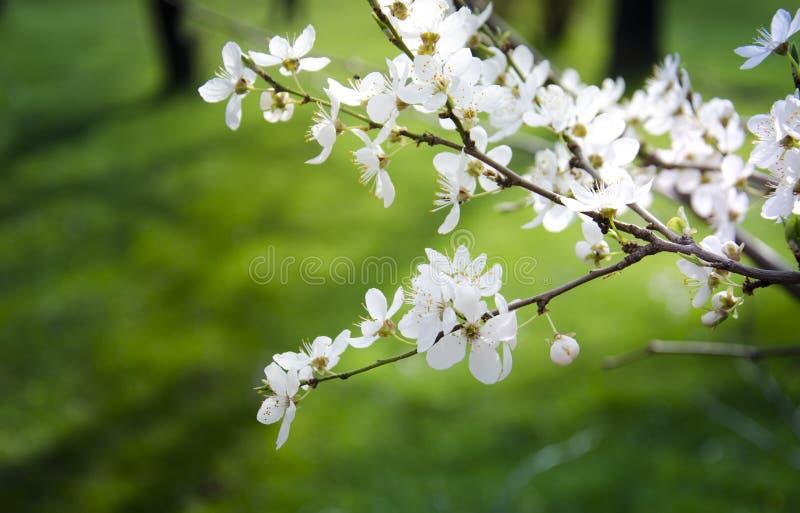 Körsbärsröd blomning härliga sakura Grön bakgrund royaltyfri foto