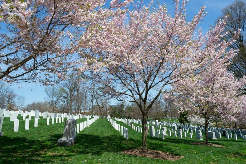 Körsbärsröd blomning i cementeryen arkivbilder