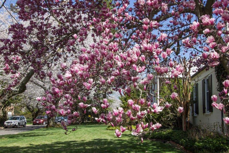 Körsbärsröd blomning i den Kenwood medicine doktorn royaltyfri foto