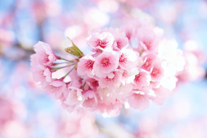 Körsbärsröd blomning i härligt blomma i Japan royaltyfri bild