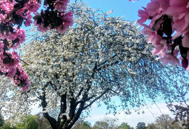 körsbärsröd blomning i vår arkivfoton
