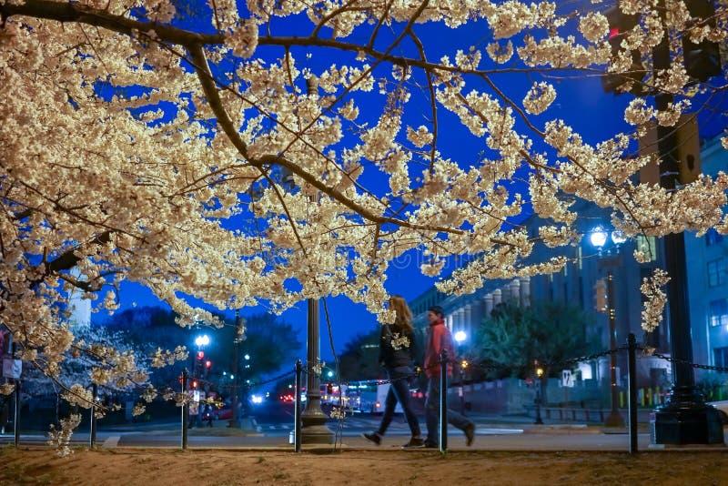 Körsbärsröd blomning i vår av Washington DC royaltyfri foto