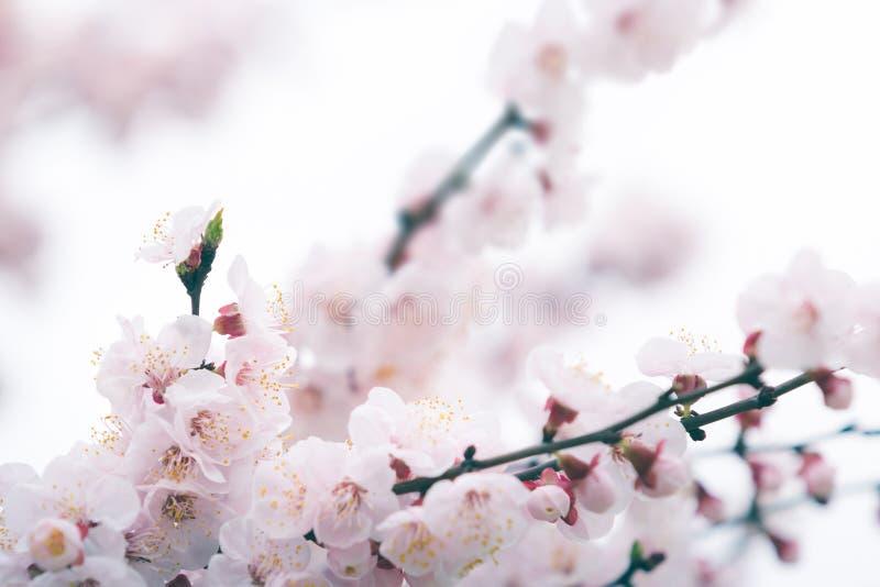 Körsbärsröd blomning i vår med den mjuka fokusen fotografering för bildbyråer