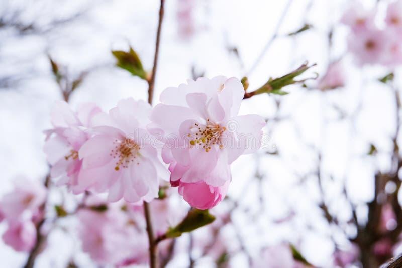 Körsbärsröd blomning, rosa färgblomma royaltyfri bild