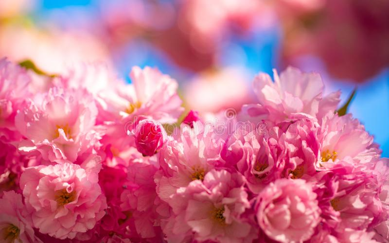 Körsbärsröd blomning Sacura körsbär-träd Blommor, i att blomma med soluppgångbakgrund Körsbärsröda blomningar för vår, rosa färgb royaltyfri fotografi