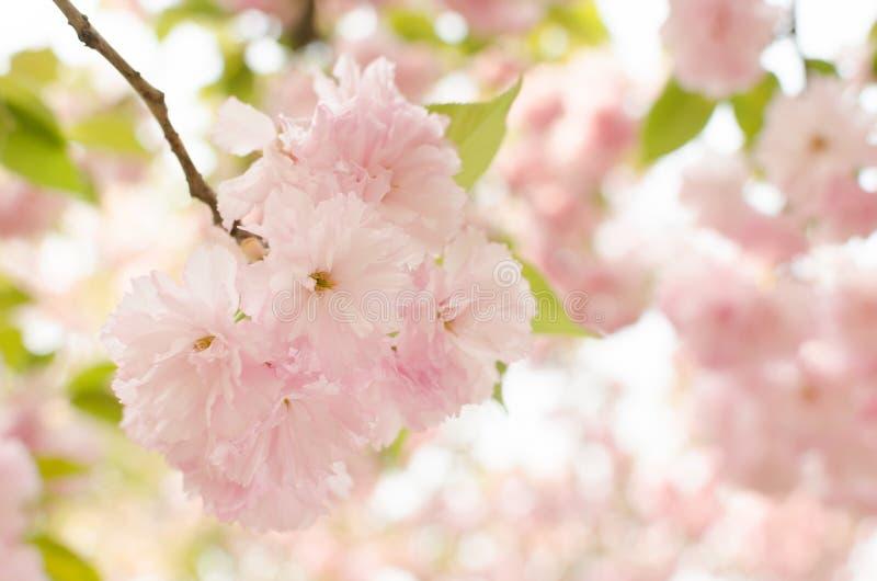 körsbärsröd blomning. Sakura royaltyfri foto