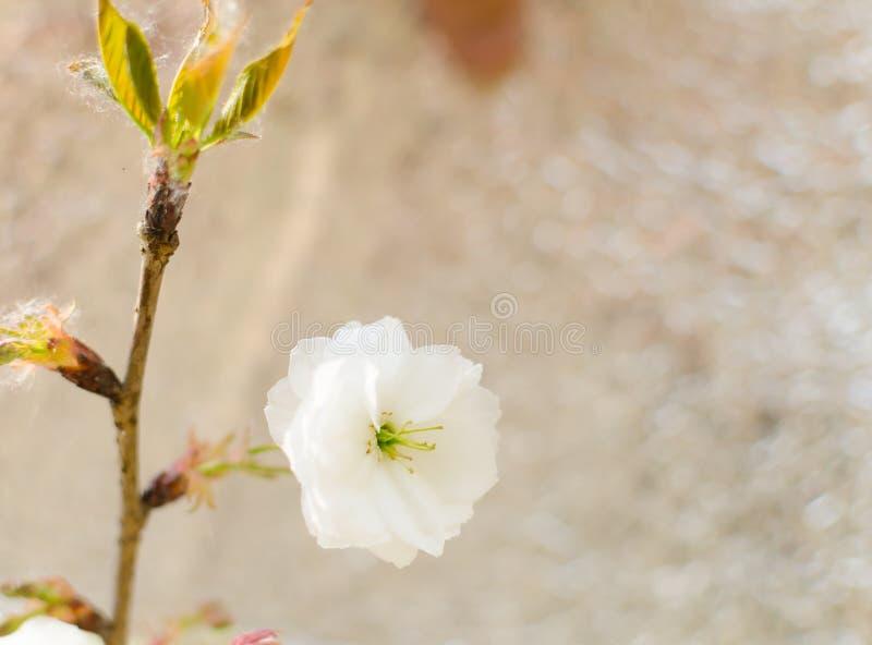 körsbärsröd blomning. Sakura fotografering för bildbyråer