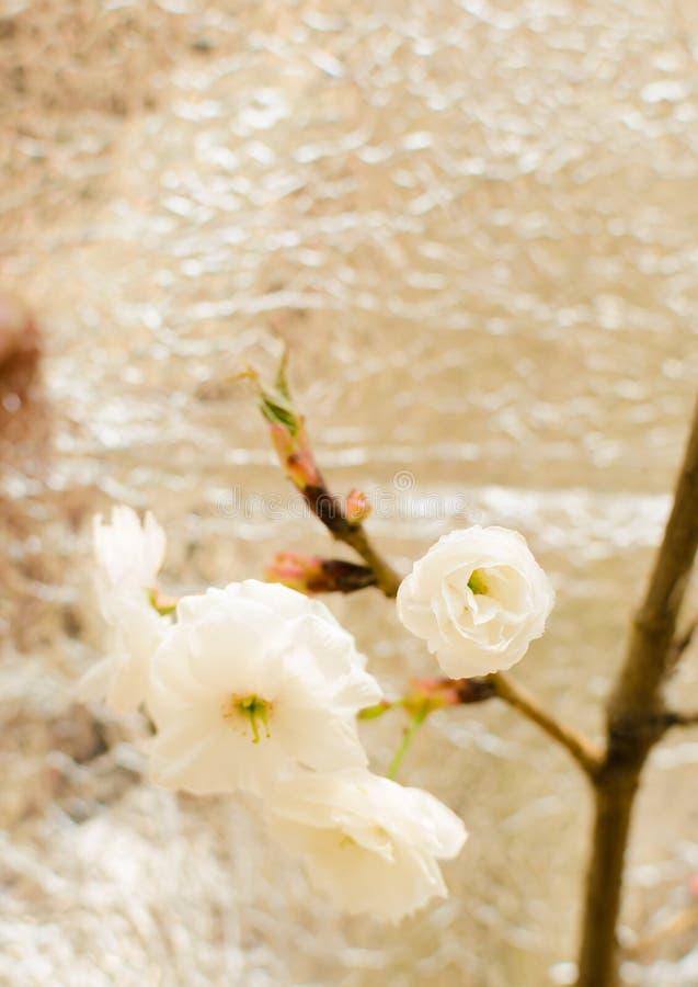 körsbärsröd blomning. Sakura royaltyfri fotografi