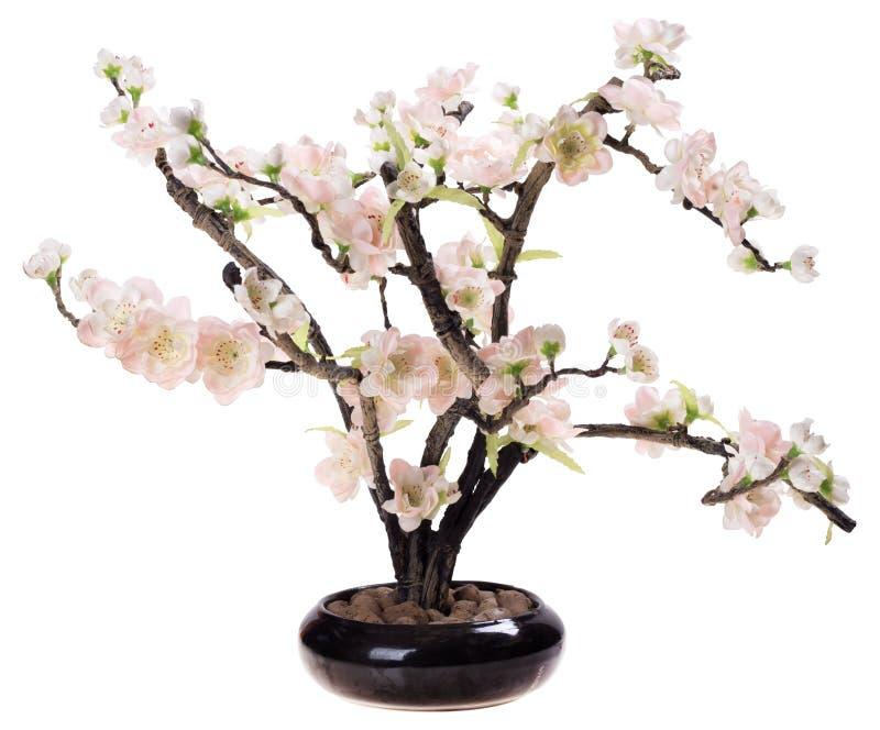 Körsbärsröd blomning, sakura blommor royaltyfri bild