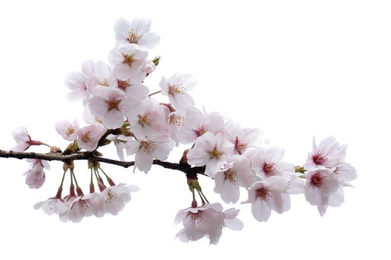 Körsbärsröd blomning, sakura filial med blommor som isoleras på vit bakgrund royaltyfria foton