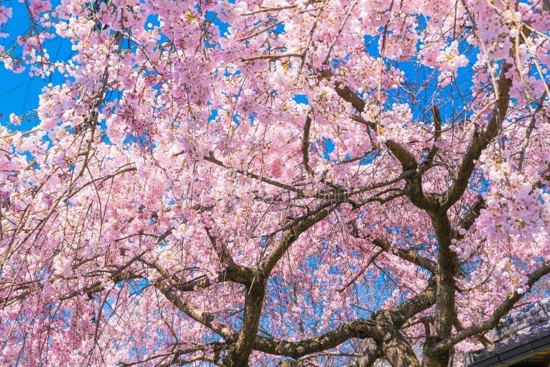 Körsbärsröd blomning Sakura runt om filosofs bana i våren, kyoto, Japan royaltyfria bilder