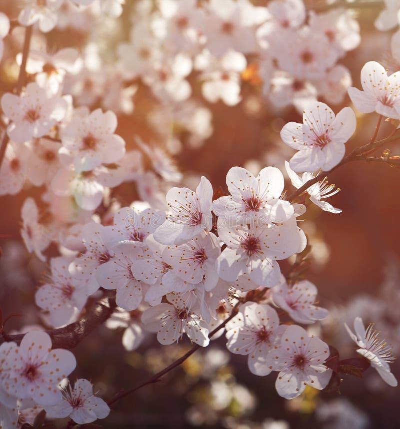 Körsbärsröd blomning sunlit arkivfoton