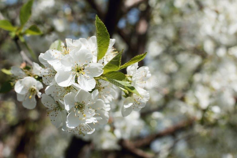 Körsbärsröd blomning, vita blommor, vår, närbild arkivfoto