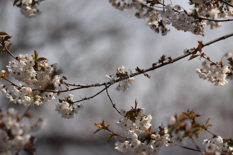 Körsbärsröd bloosom sakura i vår royaltyfri foto