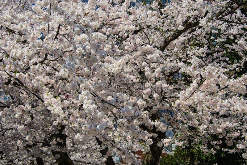 Körsbärsröd bloosomträdclosup USA royaltyfria foton