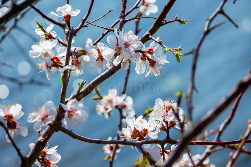 Körsbärsröd filial med vita blommor på en mörk bakgrund, tidig spr royaltyfri foto